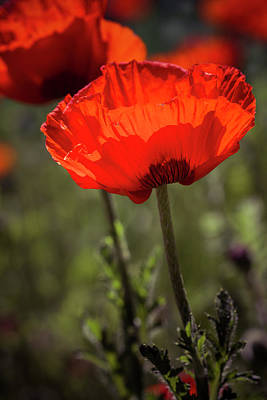 Poppies In The Morning Sun Poster by Teri Virbickis