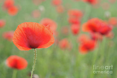 Poppies Poster by Janet Burdon