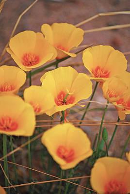 Poppies On Mount Lemmon Poster