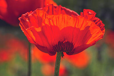 Poppy Beauty Poster by Teri Virbickis