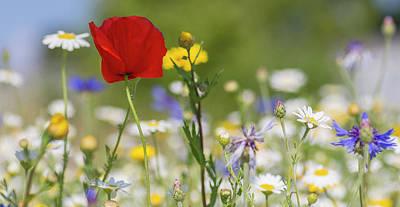Poppy In Meadow  Poster