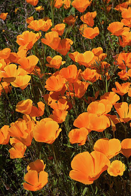 Poster featuring the photograph Poppy Superbloom Close Up by Cliff Wassmann