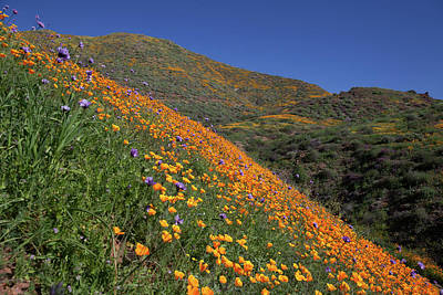 Poster featuring the photograph Poppy Superbloom On Hillside by Cliff Wassmann