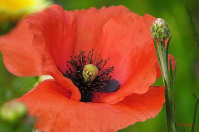 Poppy With Cornflower Bud Poster by B Vesseur