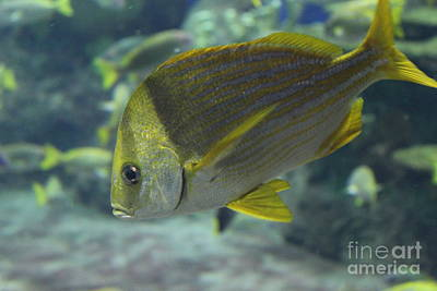 Porkfish Grunt Poster by LKB Art and Photography