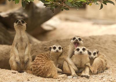 Portrait Group Of Meerkat Poster