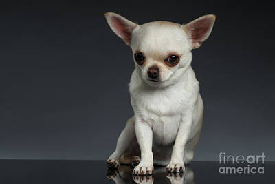 Portrait Little Chihuahua Dog Sitting On Dark Backgroun Poster by Sergey Taran