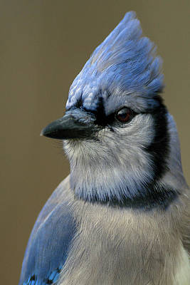 Portrait Of A Bluejay Poster