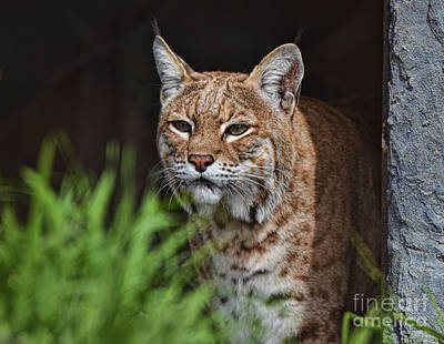 Portrait Of A Bobcat II Poster by Jim Fitzpatrick