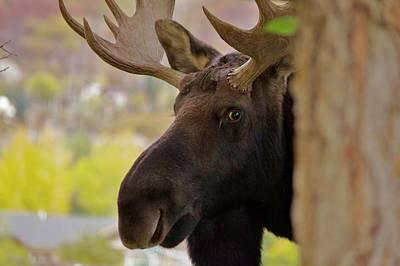 Portrait Of A Bull Moose Poster by Matt Helm