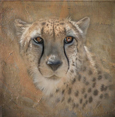 Portrait Of A Cheetah Poster