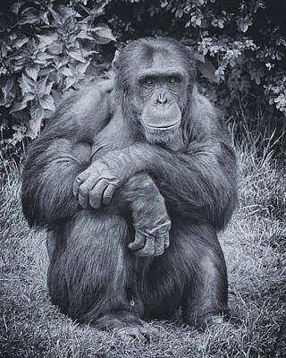 Poster featuring the photograph Portrait Of A Chimp by Chris Boulton