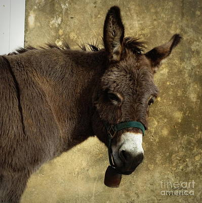 Portrait Of A Donkey Poster by Lainie Wrightson