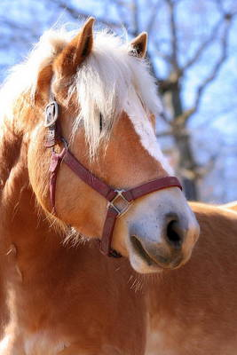 Poster featuring the photograph Portrait Of A Haflinger - Niko by Angela Rath