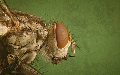 Portrait Of A Housefly Poster by Design Turnpike