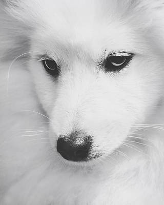 Portrait Of A Japanese Spitz Poster by Wolf Shadow  Photography