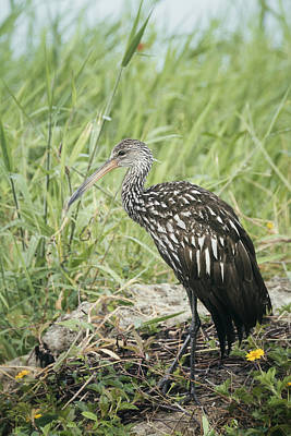 Portrait Of A Limpkin  Poster by Saija Lehtonen