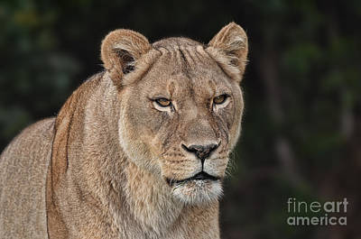 Portrait Of A Lioness II Poster by Jim Fitzpatrick