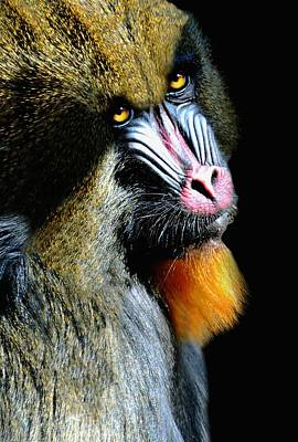 Portrait Of A Mandrill Poster by Diana Angstadt