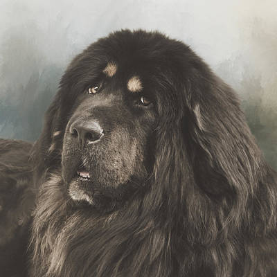Portrait Of A Tibetan Mastiff Poster by Wolf Shadow  Photography
