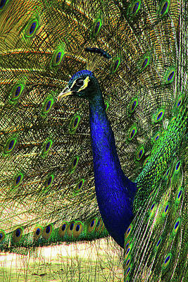 Poster featuring the photograph Portrait Of A Peacock by Jessica Brawley