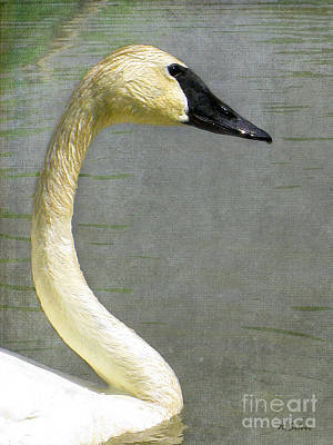 Portrait Of A Pond Swan Poster by Nina Silver