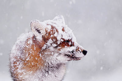Portrait Of A Red Fox In A Blizzard Poster