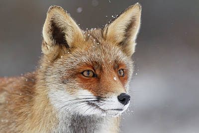 Portrait Of A Red Fox In The Snow Poster by Roeselien Raimond