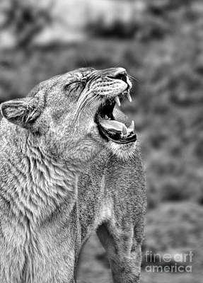 Portrait Of A Roaring Lioness II Poster by Jim Fitzpatrick