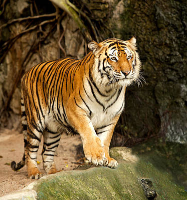 Portrait Of A Royal Bengal Tiger Poster by Anek Suwannaphoom