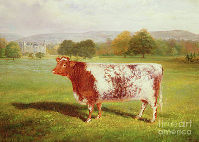 Portrait Of A Shorthorn Poster by William Joseph Shayer