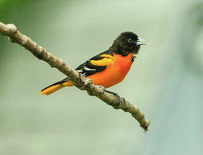 Portrait Of A Singing Baltimore Oriole Poster