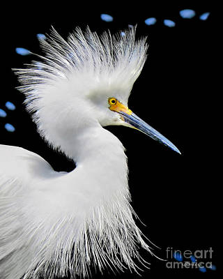 Portrait Of A Snowy White Egret Poster