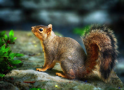 Portrait Of A Squirrell Poster