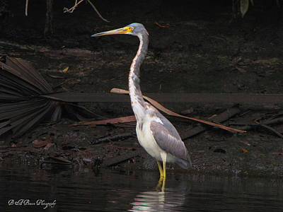Poster featuring the photograph Portrait Of A Tri-colored Heron by Barbara Bowen