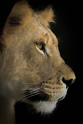Poster featuring the digital art Portrait Of A Young Lion by Ernie Echols