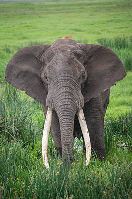 Portrait Of African Elephant Loxodonta Poster