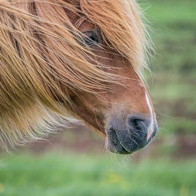 Portrait Of Icelandic Horse, Iceland Poster
