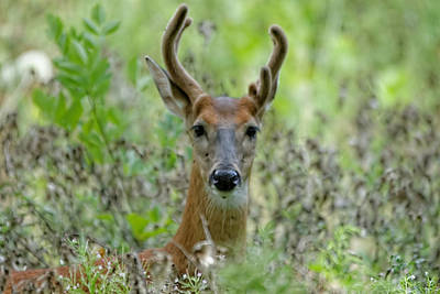 Portriat Of Male Deer Poster