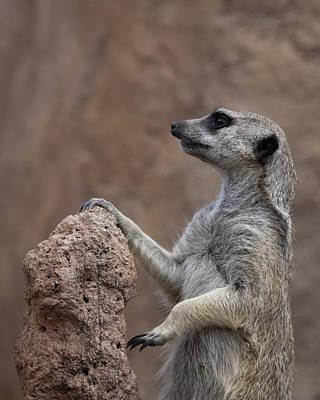 Pose Of The Meerkat Poster by Ernie Echols
