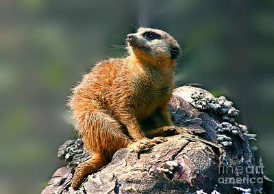 Posing Meerkat Poster