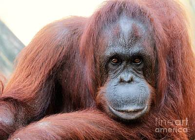 Posing Orang Portrait Poster by Diann Fisher