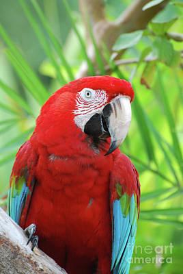 Posing Poised Scarlet Macaw Bird Poster by DejaVu Designs