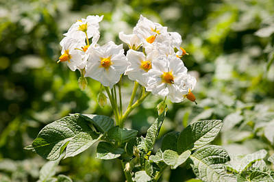 Potato Bunch Of White Flowers Poster