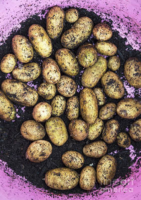 Potato Harvest Poster by Tim Gainey