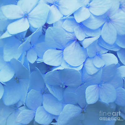 Powder Blue Hydrangea Poster by Barbara McMahon