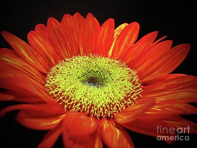 Prado Red Sunflower Poster