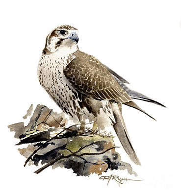 Prairie Falcon Poster by David Rogers