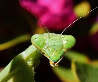 Praying Mantis Eyes Macro Poster