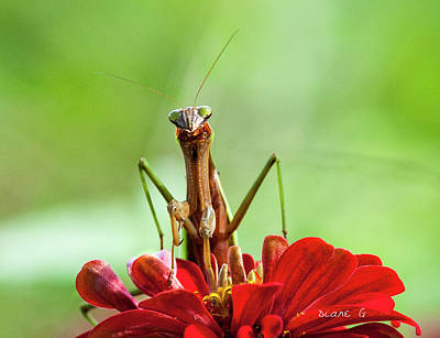 Praying Mantis On Zinnia Poster